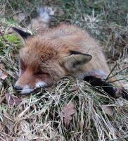 Polowanie na lisa